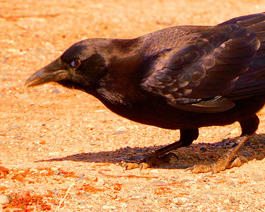 A Raven Searches For Food,