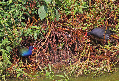 This is a Purple Gallinule having a territorial dispute with a Common Moorhen.