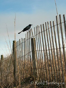 Grackle on sand dune fence. Pawleys Island, South Carolina © Rob Huntley