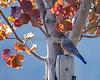 Western Bluebird on the Cañada College Campus, Redwood City, CA (Sialia mexicana)