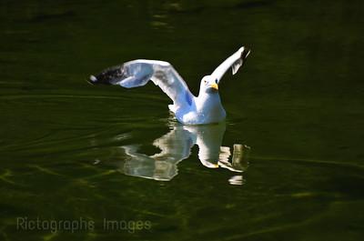 Sammy Seagull