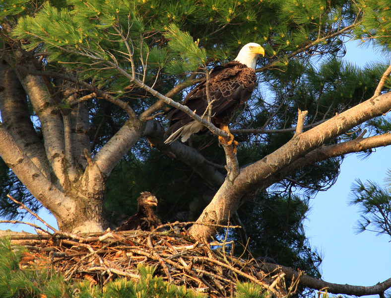 """""""  Bald Eagle With Baby in Nest""""  Photo in Our Wisconsin Magazine Premiere Issue January 2013 Issue"""