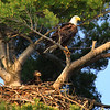 """  Bald Eagle With Baby in Nest""  Photo in Our Wisconsin Magazine Premiere Issue January 2013 Issue"