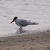 Caspian Tern at Bolsa Chica Reserve - 19 Mar 2011