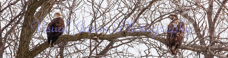 adult and juvenile Bald  Eagles<br /> Haliaeetus leucoceohalus