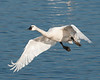 Tundra Swan, Aylmer