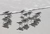 Marching Sanderlings