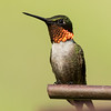 Perched Ruby-throat