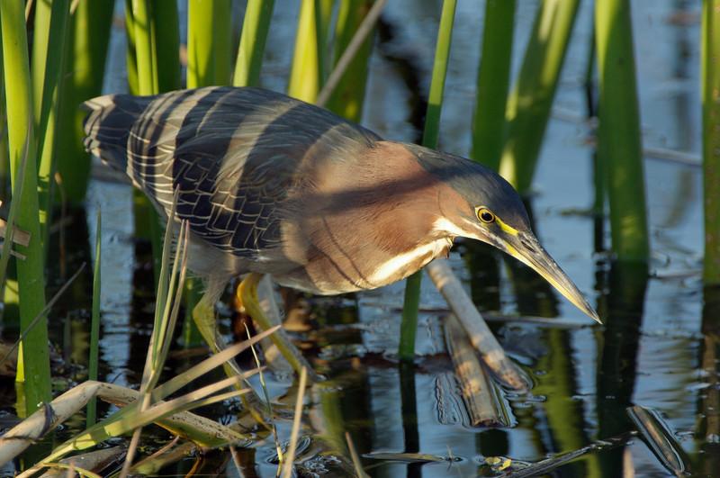 Green Heron, Viera Wetlands, Viera, Florida
