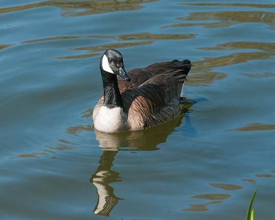 Canada Goose, Toronto