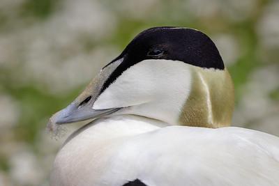 Common eider (male)
