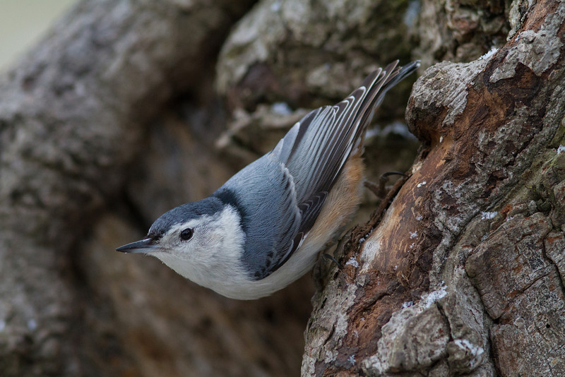 White-breasted Nuthatch - March 2013