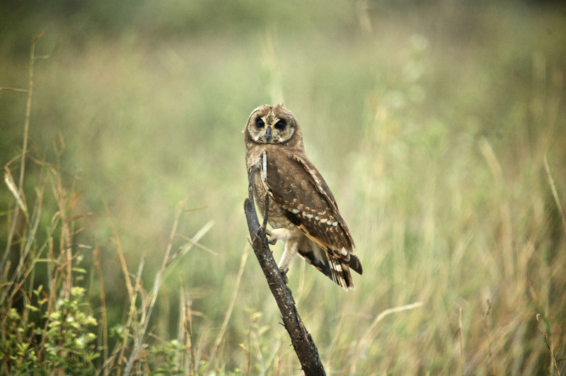 Marsh Owl (Asio capensis)<br /> Near Amboseli National Park, Kenya<br /> IUCN Status: Least Concern