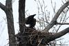 "Male Bald Eagle ""in action"",<br /> Potomac River,<br /> Alexandria, Virginia<br /> February 2009"