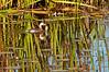 Pied-billed grebe, Beaver Marsh, 10/21/2012
