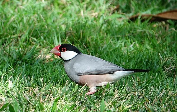 Java Sparrow of Hawaii
