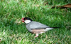 Java Sparrow of Hawaii