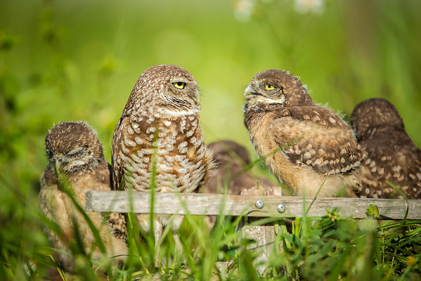 Burrowing Owls Family
