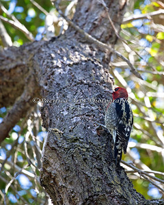 Red-breasted Sapsucker (Sphyrapicus ruber)
