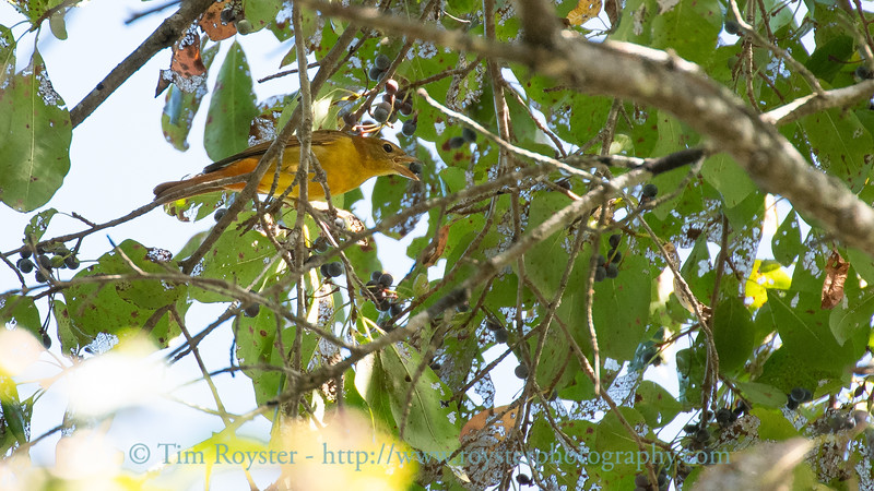 Scarlet Tanager in the Black Gum tree