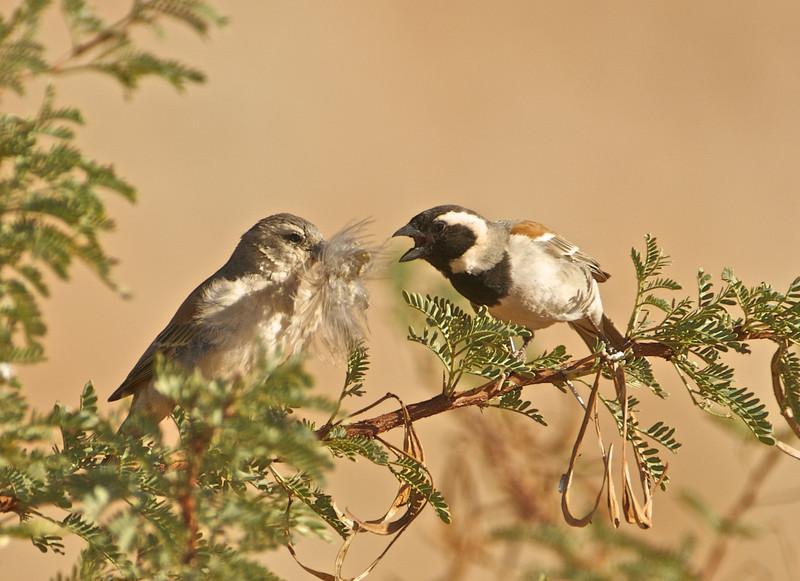 Cape Sparrows, NamibRand Nature Preserve, Namibia