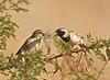 Cape Sparrows, NamibRand Nature Preserve, Namibia