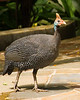 Helmeted Guinea Fowl {Numida meleagris} <br /> Jurong Bird Park Singapore <br /> © WEOttinger, The Wildflower Hunter - All rights reserved<br /> For educational use only - this image, or derivative works, can not be used, published, distributed or sold without written permission of the owner.