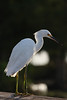 Snowy Egret up close, Green Cay wetlands