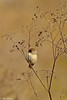Bushtit at Schollenberger 1-2001-2