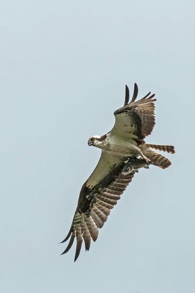 Osprey, Prime Hook NWR, DE, 7-27-14