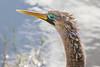 anhinga - eye colors are a mating signal