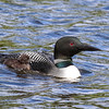 Loons With Chick  3