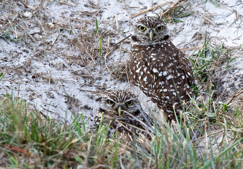 Burrowing Owls, Cape Coral, Florida