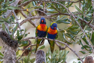 Rainbow Lorikeets in the bankisa, Boat Harbour, NSW
