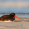 Oystercatcher - Nickerson Beach, New York  This photograph is protected by the U.S. Copyright Laws and shall not to be downloaded or reproduced by any means without the formal written permission of Bob Arkow Photography.