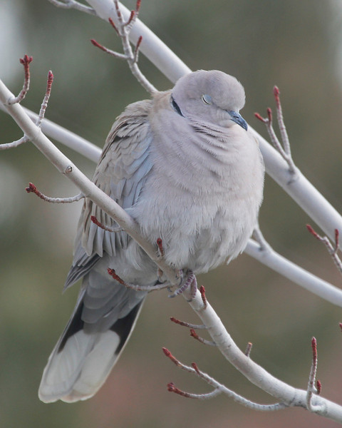 Sleeping Dove