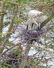 Cattle Egret on nest.  It looks like one chick has hatched so far.  There are dozens of nests in the trees, and the chicks are at all different stages of development.