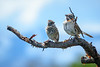 Rufous-collared Sparrows