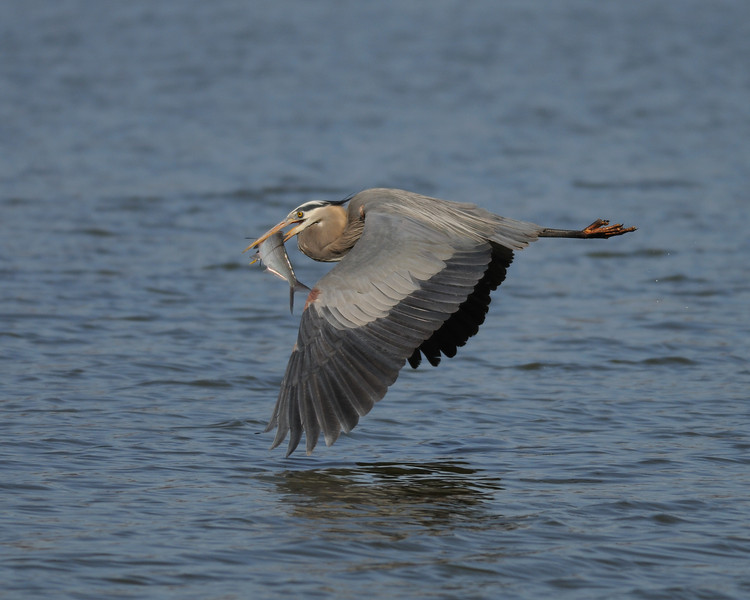 Great Blue Heron with fish<br /> Pohick Bay, Virginia