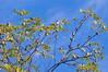 40 Cedar Waxwings, near Beaver Marsh, 9/25/09.