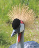 Gray Crowned Crane 8x10