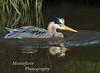 Great Blue Heron-Ardea herodias, Bathing in La Mirada Lake, Monterey California