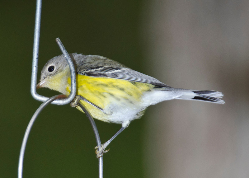 Young female Magnolia Warbler