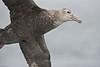 Giant Petrel, Antarctica