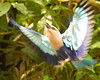 Blue-bellied Roller {Coracias cyanogaster} in flight<br /> Jurong Bird Park, Singapore<br /> © WEOttinger, The Wildflower Hunter - All rights reserved<br /> For educational use only - this image, or derivative works, can not be used, published, distributed or sold without written permission of the owner.