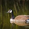 Canada Goose in a pond, Gairloch Gardens,Oakville,Ontario