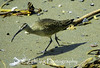 A long-billed curlew combs the California beach for an afternoon morsel.