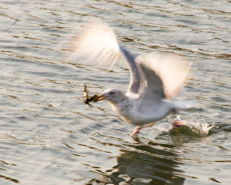 Seagull taking off with crab.<br /> Boothbay, ME<br /> © WEOttinger, The Wildflower Hunter - All rights reserved<br /> For educational use only - this image, or derivative works, can not be used, published, distributed or sold without written permission of the owner.