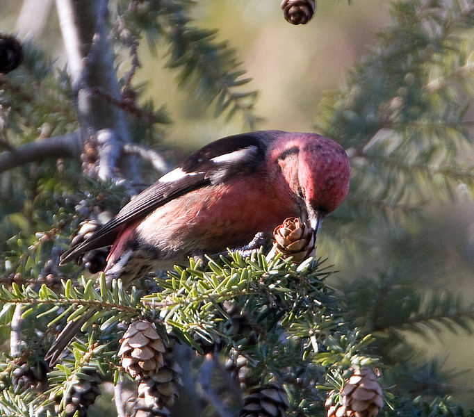 White-winged Crossbill eating seeds from cone - January 2009 - Monclova, OH
