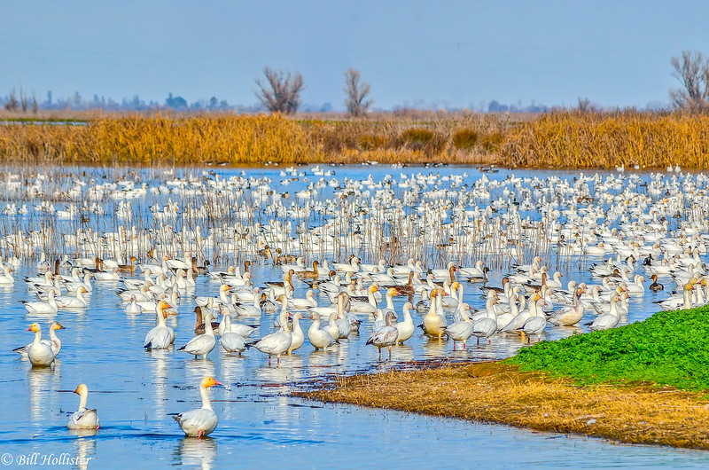 Waterfowl scene in Central Valley 1-2012 1-201213-2